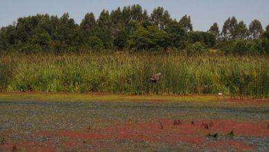 Photo of Humedal Angachilla: Estudio para declararlo Santuario de la Naturaleza será entregado el 15 de diciembre.